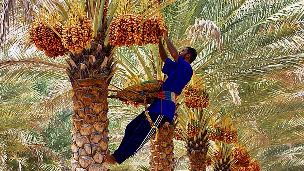 dateid koristamas palmi otsas