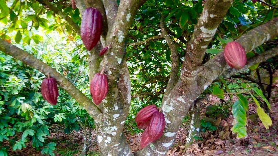 kakaopuu