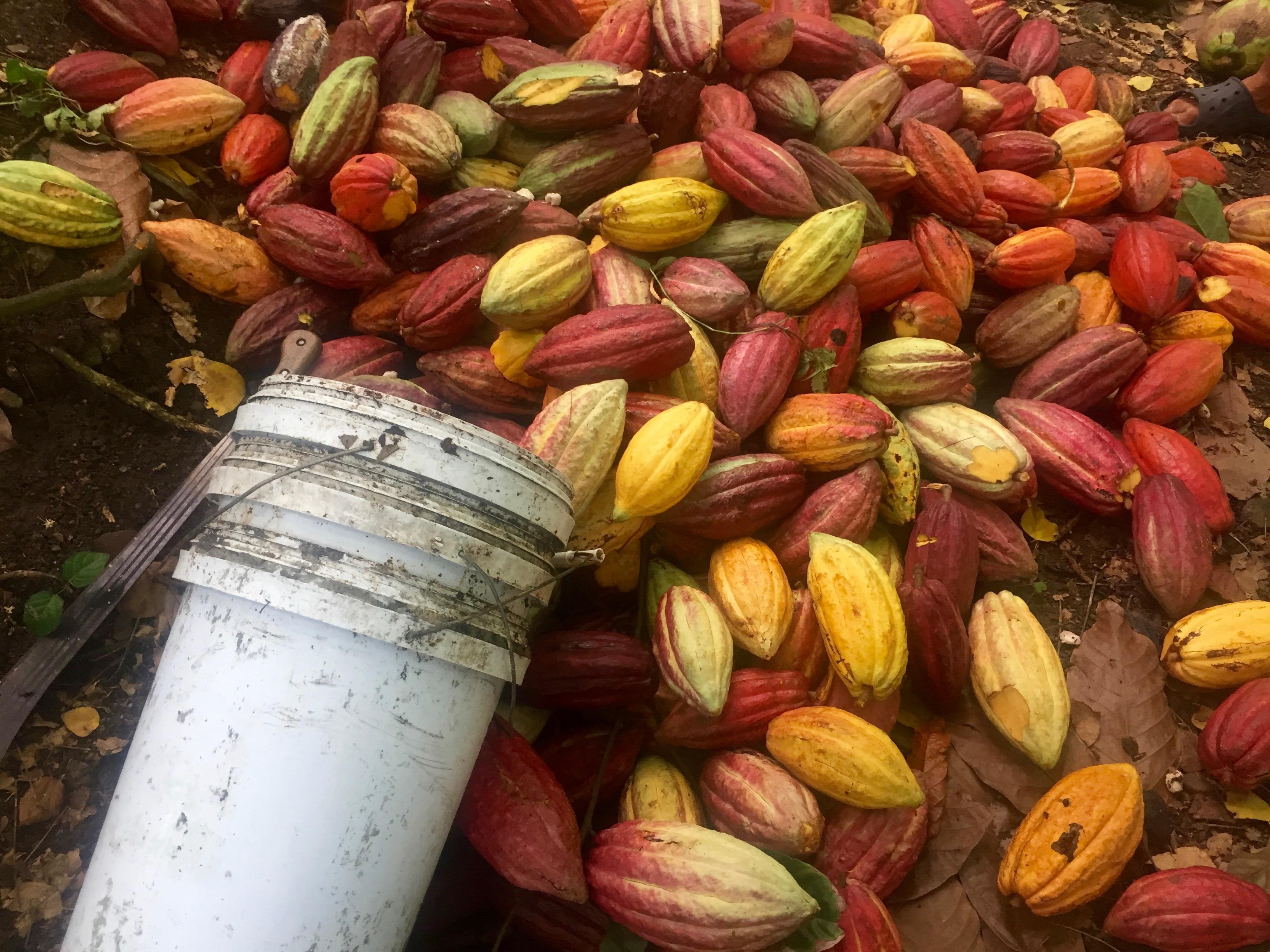 kakaoubade koristamine