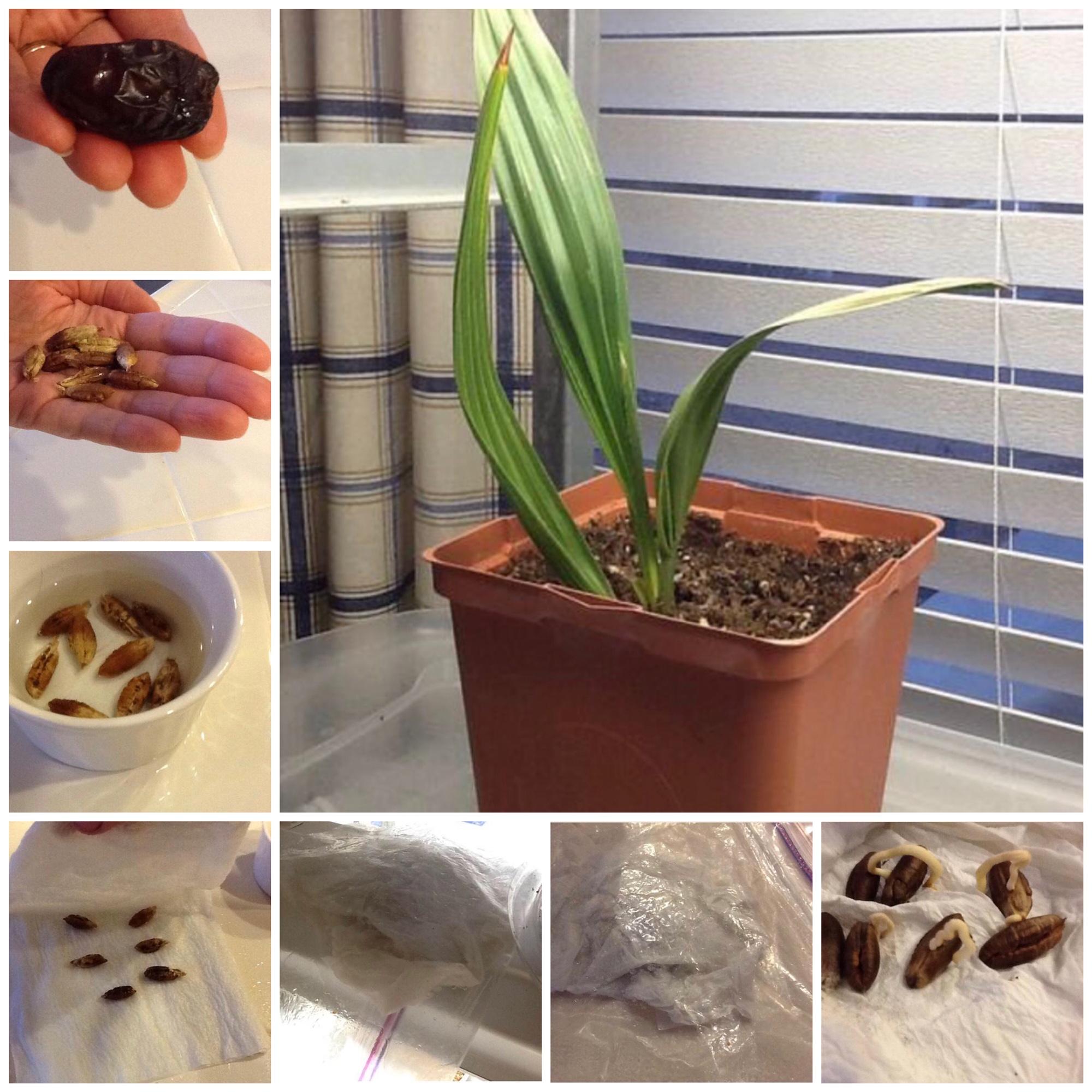 Kuidas panna dattel kasvama
