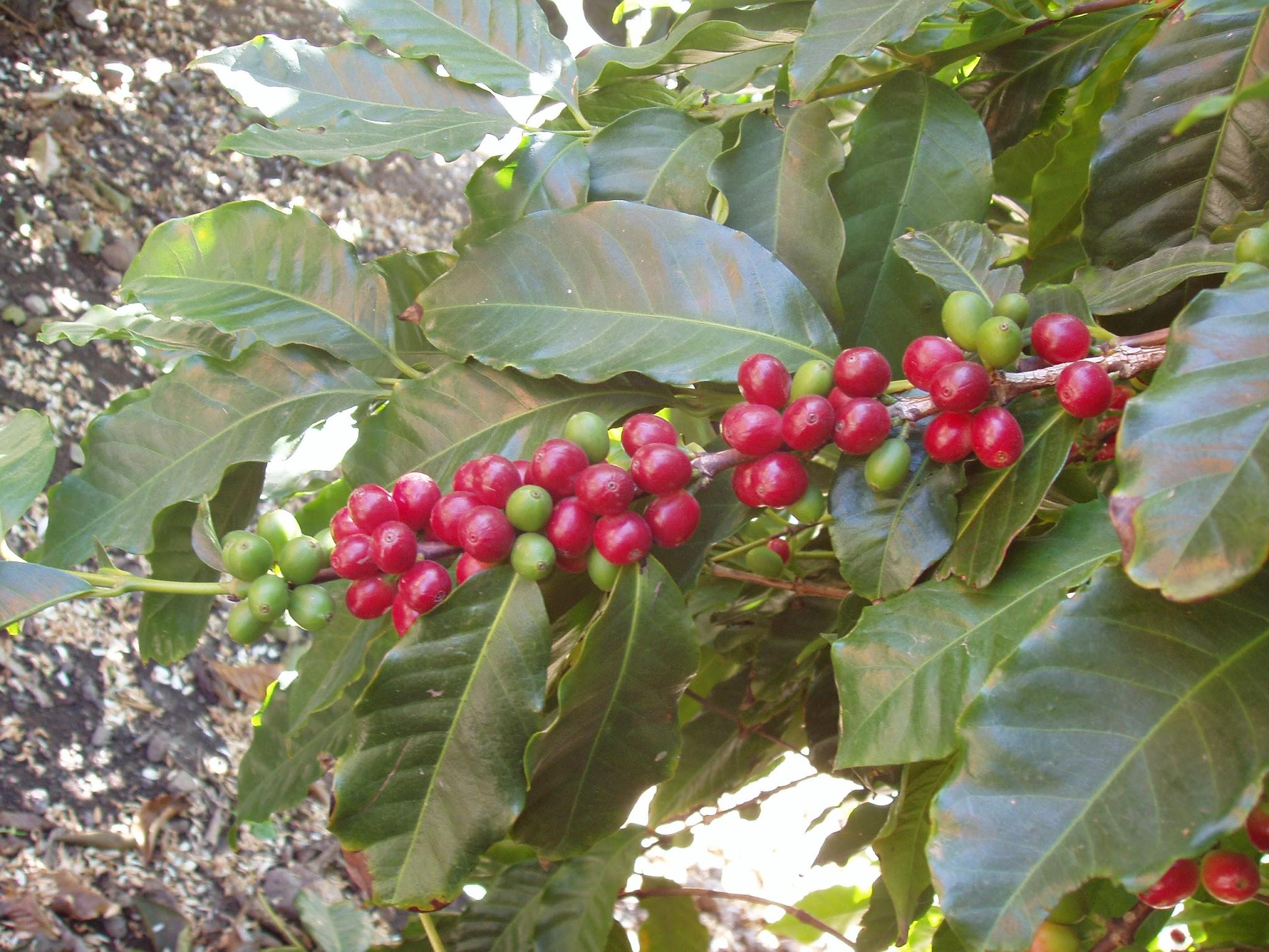 Euroopas ainus ja maailmas kõige põhjapoolsem koht, kus kasvatatakse ka kohviuba