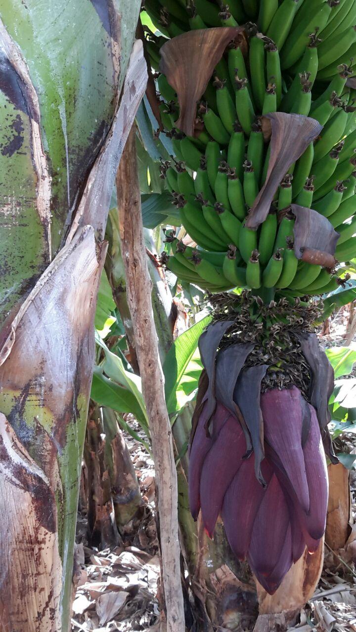 1-aastane taim- banaan